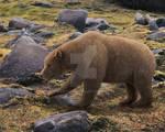Cave bear(Ursus spelaeus)