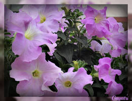 Purple Petunia by gayatri23119