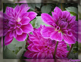 Purple Dahlia by gayatri23119