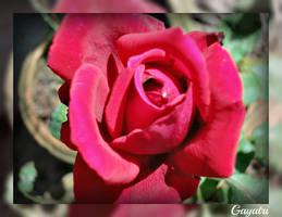 Red Rose by gayatri23119
