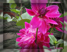 Pink Dahlia by gayatri23119