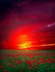 Poppy Field Premade Background