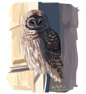 Barred Owl Study by FurioustheOwlBoy