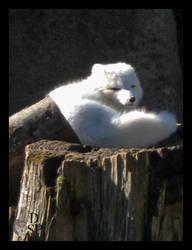 Arctic Fox by Dakota-Spirit