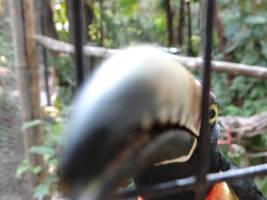 Aracari attack