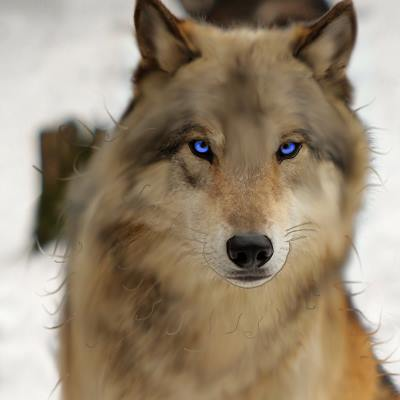 Golden Brown Wolf With Blue Eyes Golden Brown Wolf With Blue