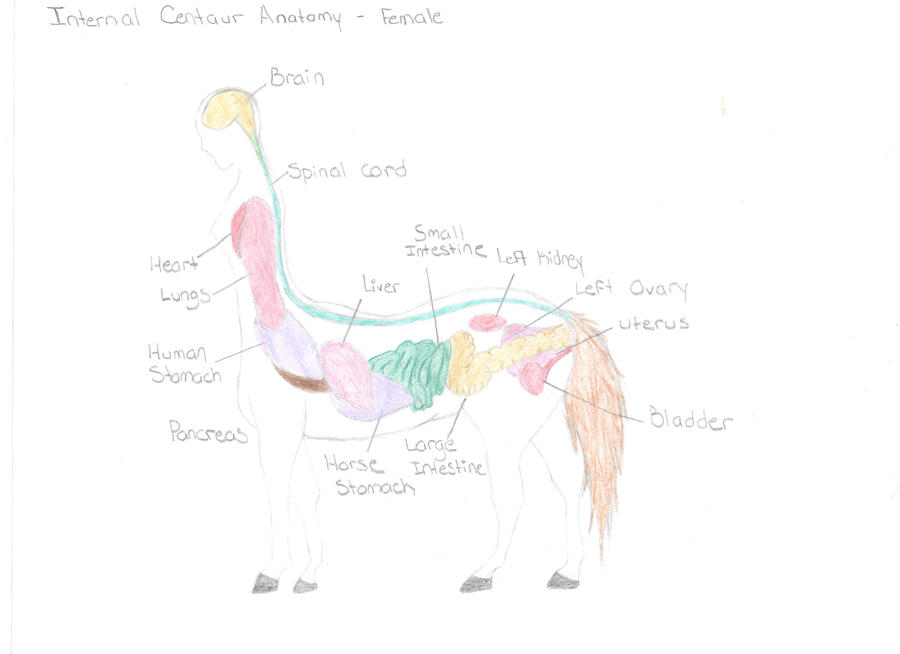 Centaur Internal Anatomy by HgBird on DeviantArt