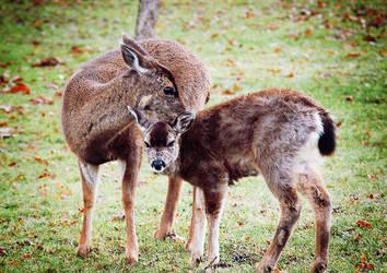 Deer II by coralphotography