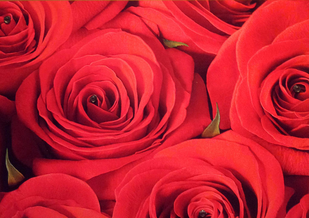 Red roses by Kit2000andAnna
