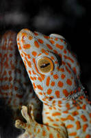 Tokay by Phyllia131