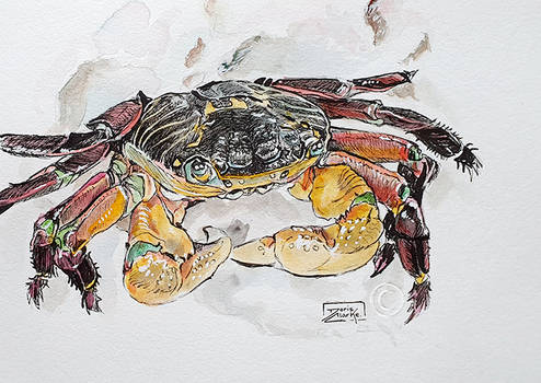 Inktober Day 13 - Variegated shore crab