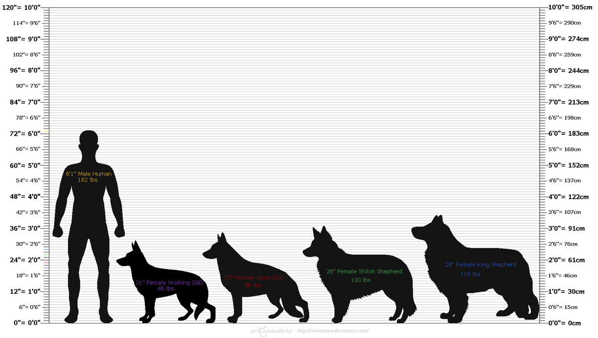 German shepherd size chart dogs our friends photo blog german shepherd size chart nvjuhfo Choice Image