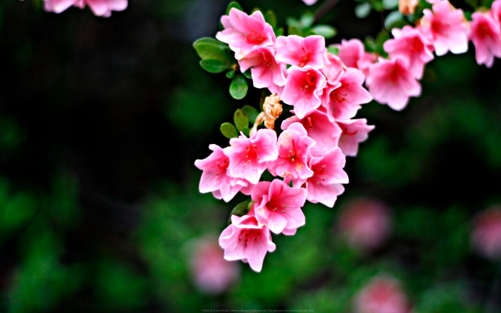Pink Flowers by Sunira