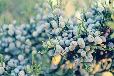 Winterberries by Sunira