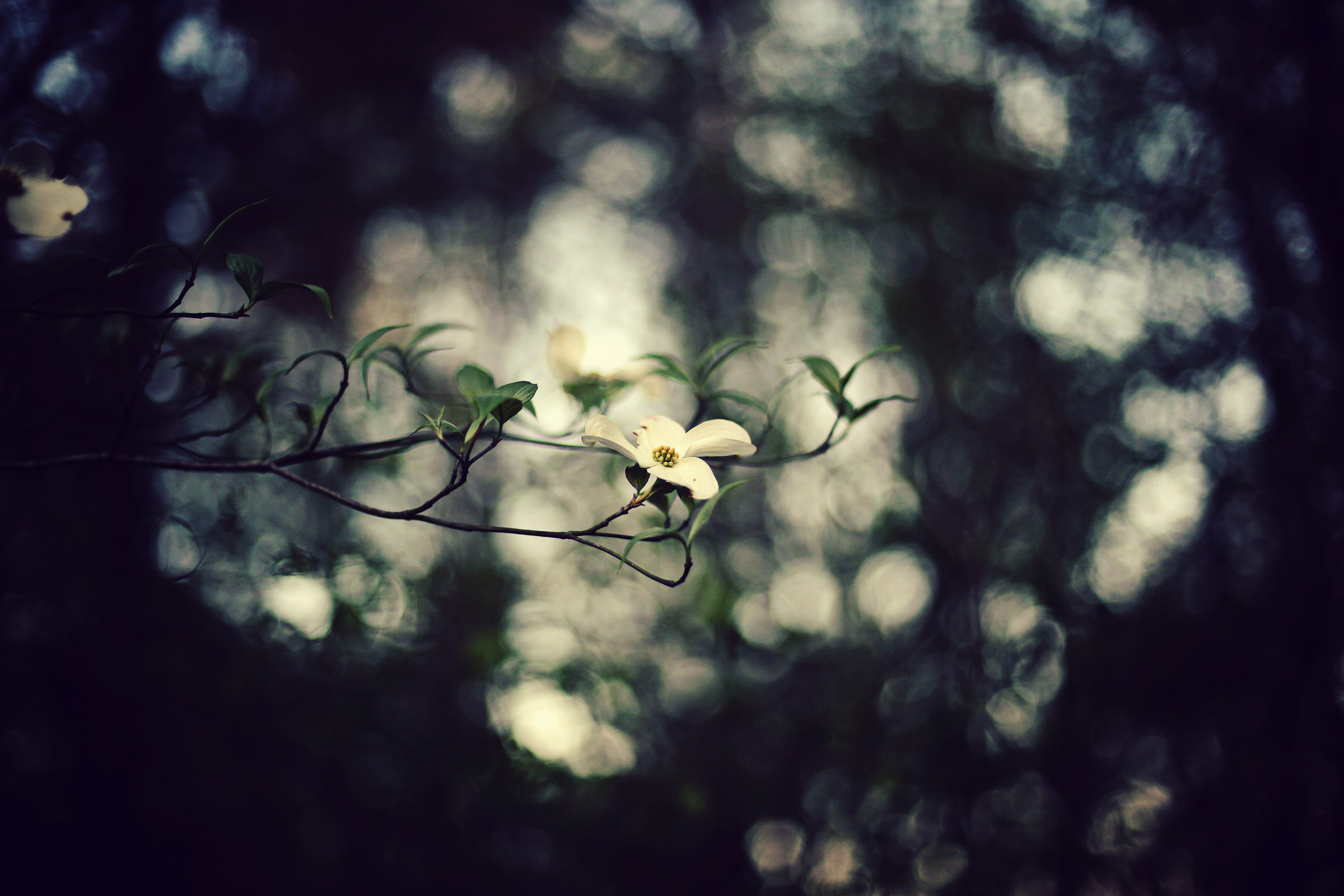 Dogwood by Sunira