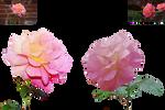 Rose Variations 3