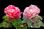 Rose Variation 6