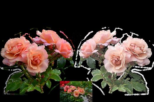 Rose Variation 9