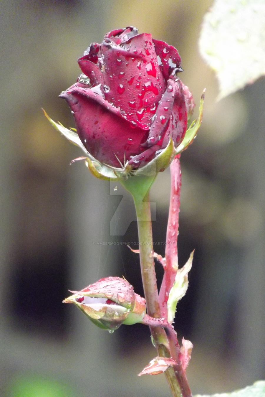 AmberMoonPhoto A Single Rose By