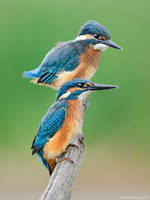 Two Kingfishers by Sergey-Ryzhkov