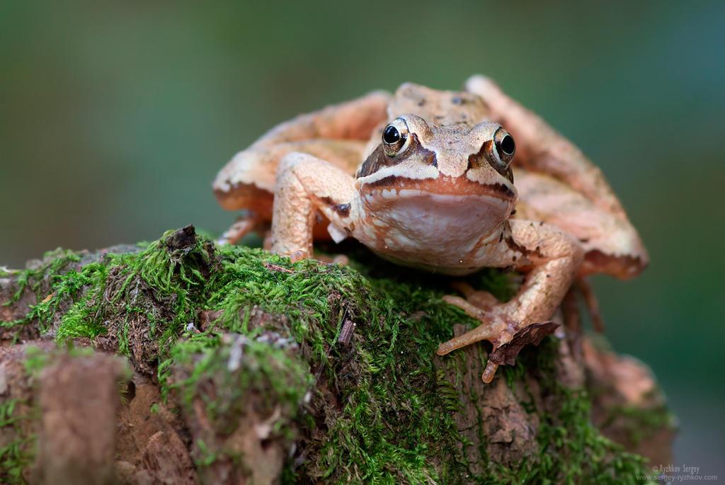 Moor Frog by Sergey-Ryzhkov