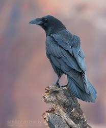 Raven (Corvus Corax) by Sergey-Ryzhkov
