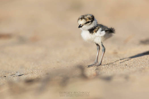 Little Ringed Plover chick