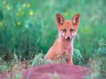 Red fox cub (Vulpes Vulpes)