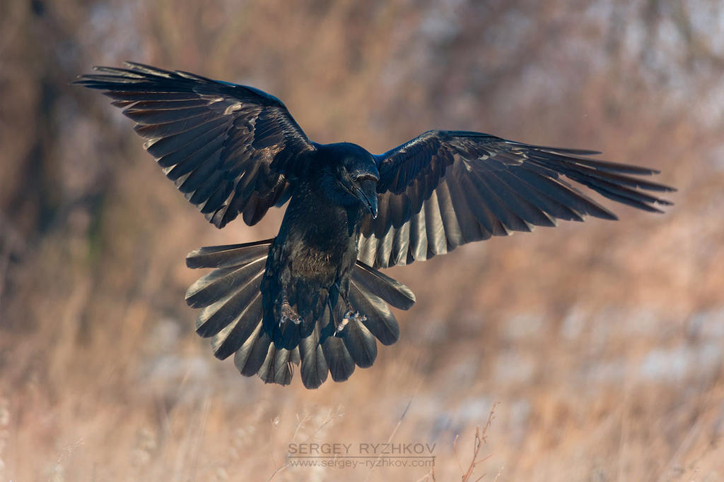 how to draw a raven with open wings