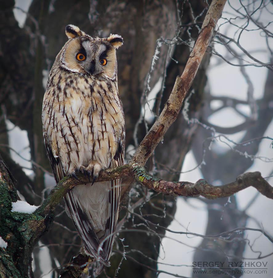 Long-eared Owl by Sergey-Ryzhkov