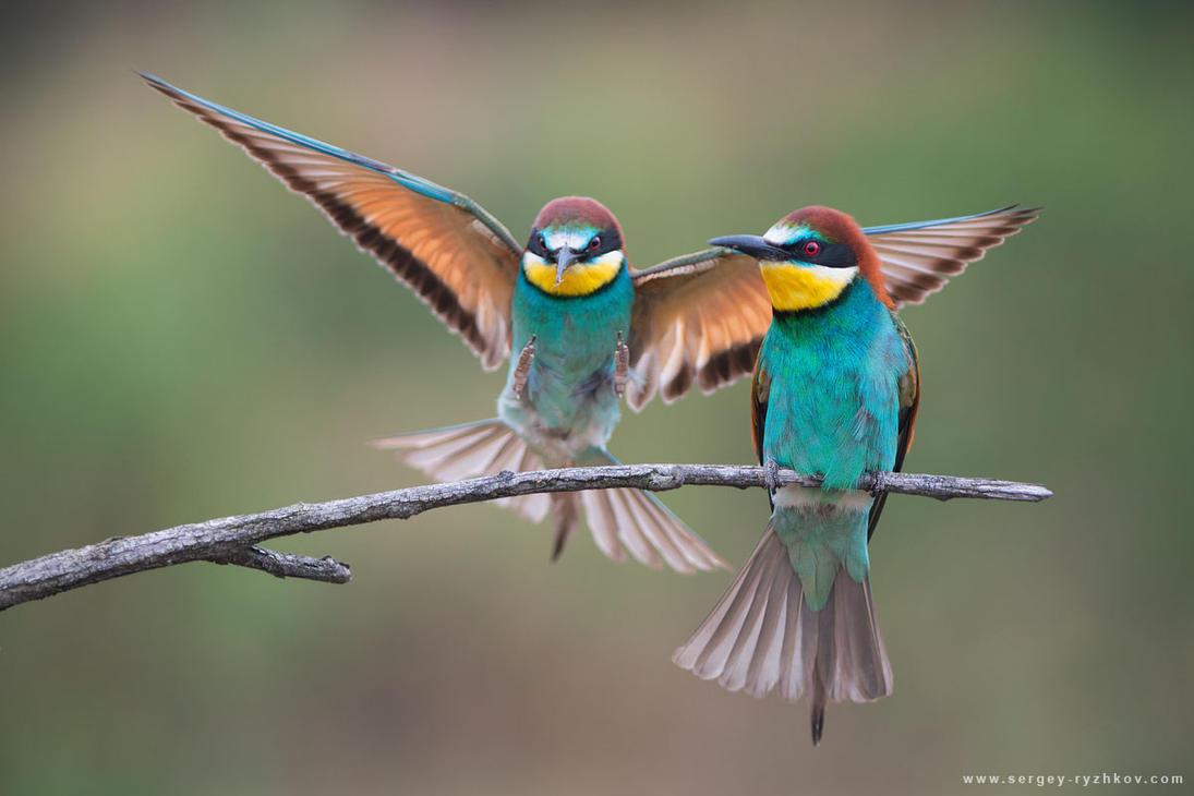 European bee-eaters by Sergey-Ryzhkov