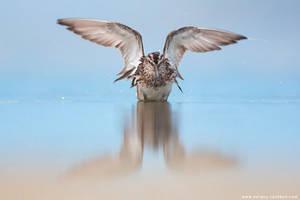 Broad-billed sandpiper by Sergey-Ryzhkov