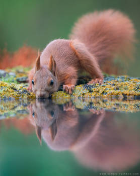 Red squirrel near the water