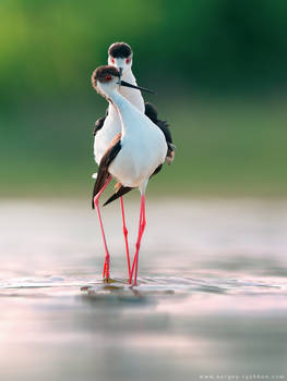 Black-winged stilts in courtship display