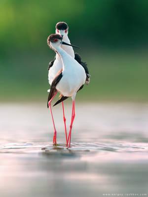 Black-winged stilts in courtship display by Sergey-Ryzhkov