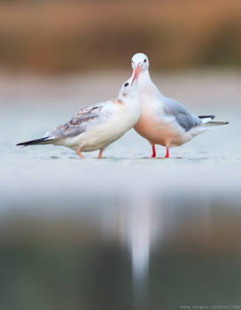 Juvenile Slender-billed gull calling for food