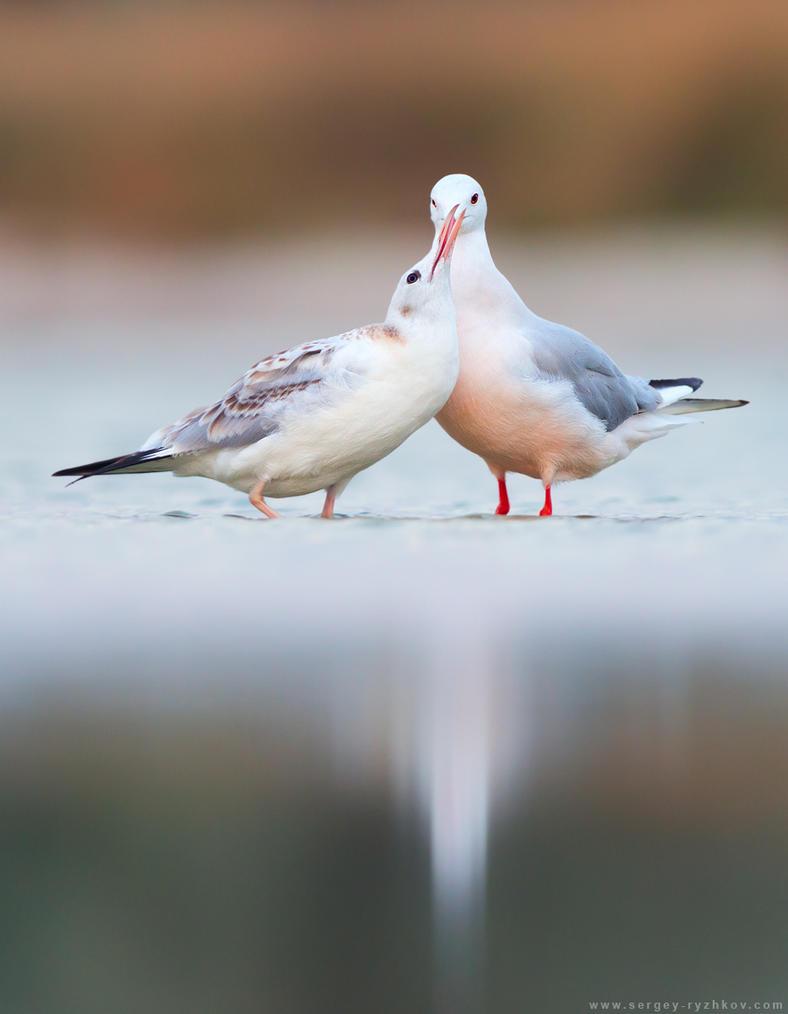 Juvenile Slender-billed gull calling for food by Sergey-Ryzhkov