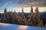 Snowy winter spruce forest in morning light