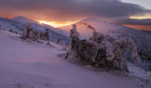 Frozen spruce-trees in winter mountains