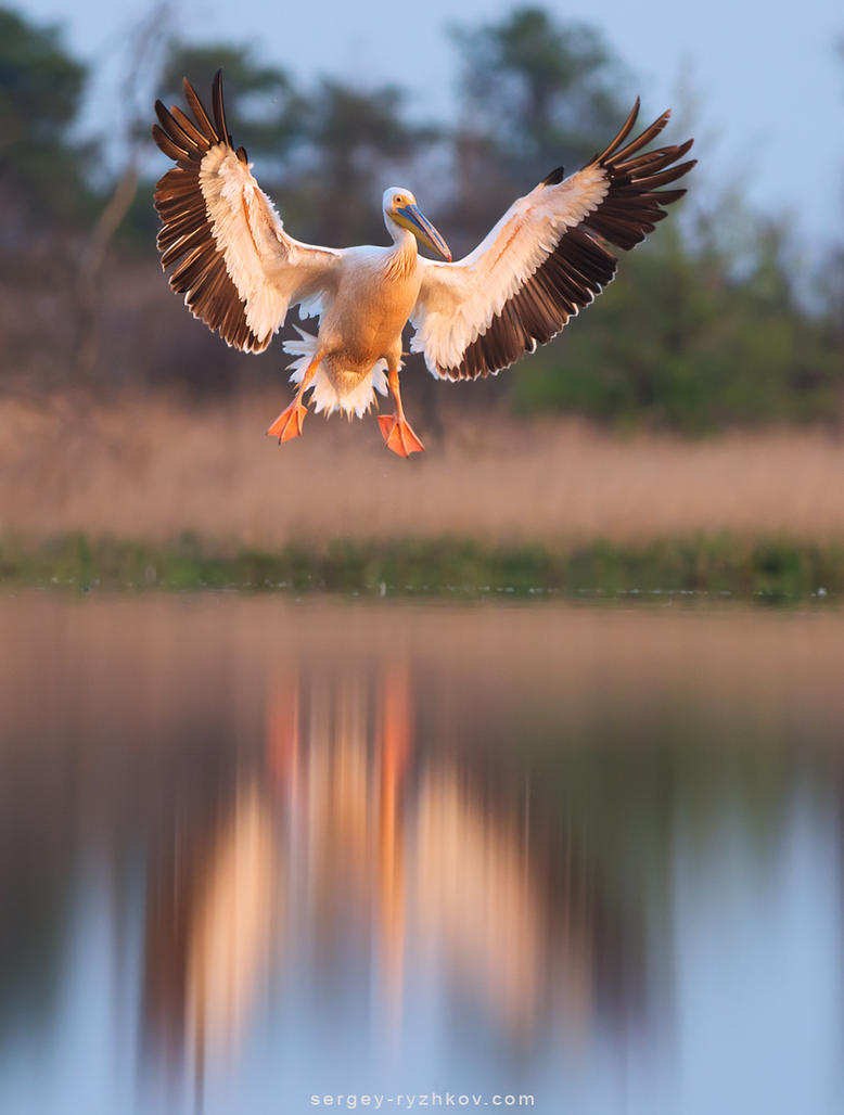 Great white pelican in flight by Sergey-Ryzhkov