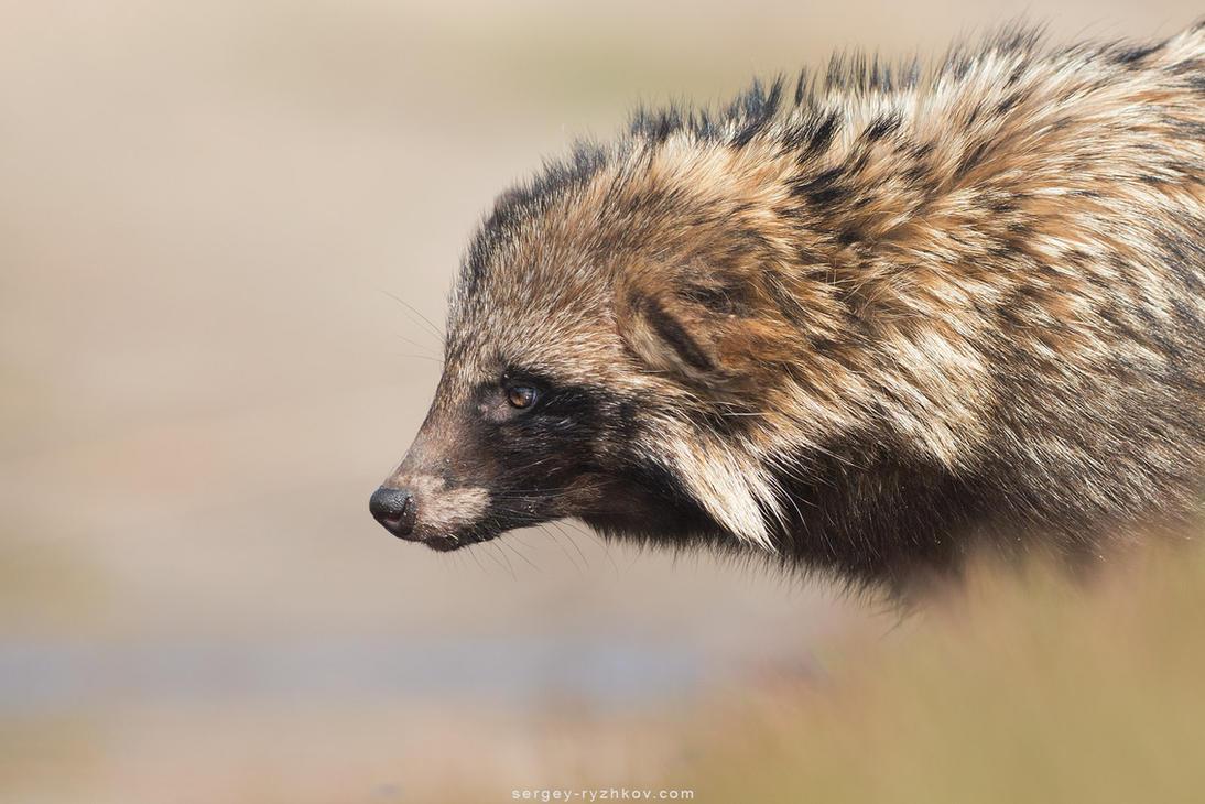 Raccoon dog portrait (Nyctereutes procyonoides) by Sergey-Ryzhkov
