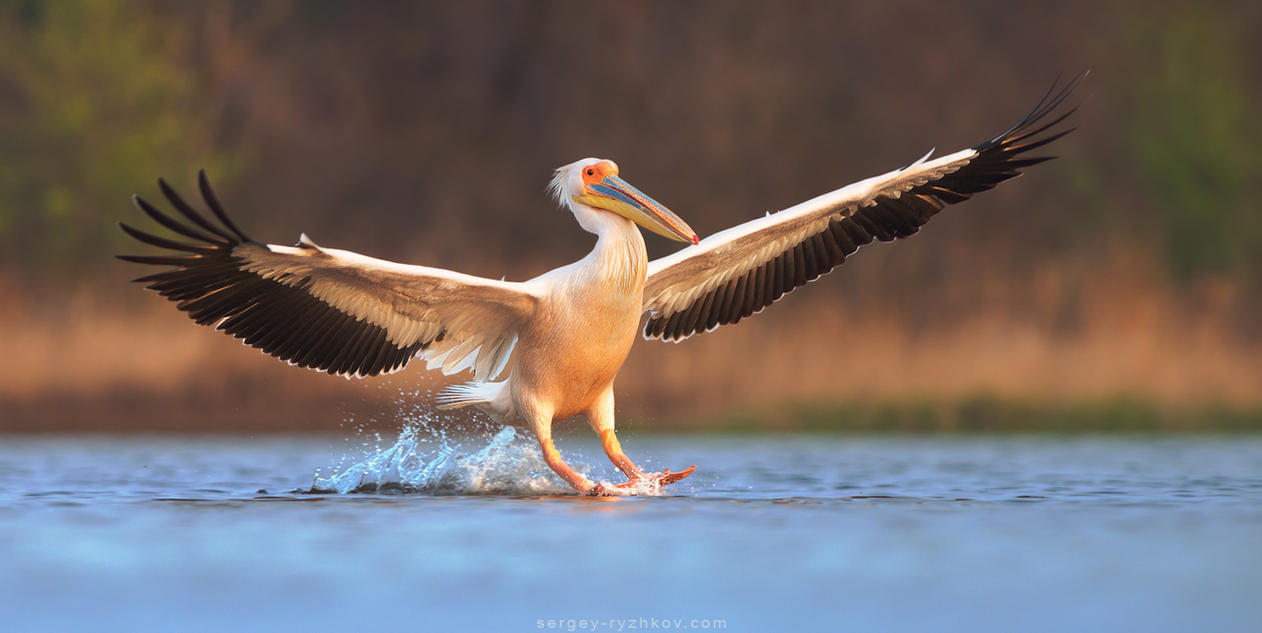 Great white pelican landing by Sergey-Ryzhkov