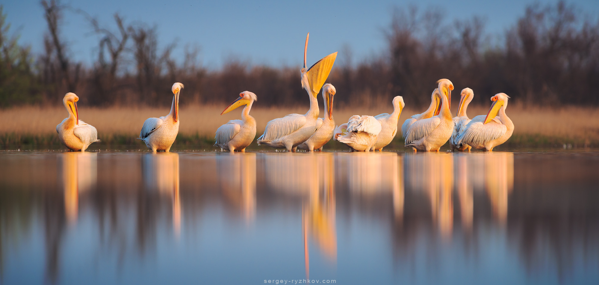 Pelicans by Sergey-Ryzhkov