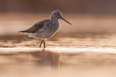 Common greenshank in the evening by Sergey-Ryzhkov