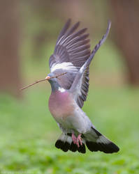 Wood pigeon in flight (Columba palumbus) by Sergey-Ryzhkov