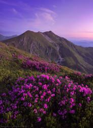 Rhododendron in Rodna Mountains