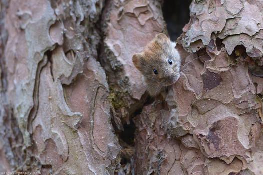 Bank vole (Clethrionomys glareolus)
