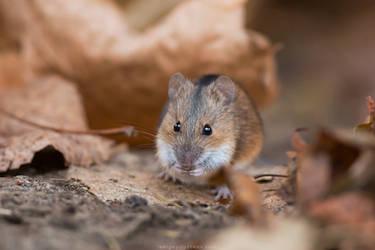 Striped Field Mouse by Sergey-Ryzhkov