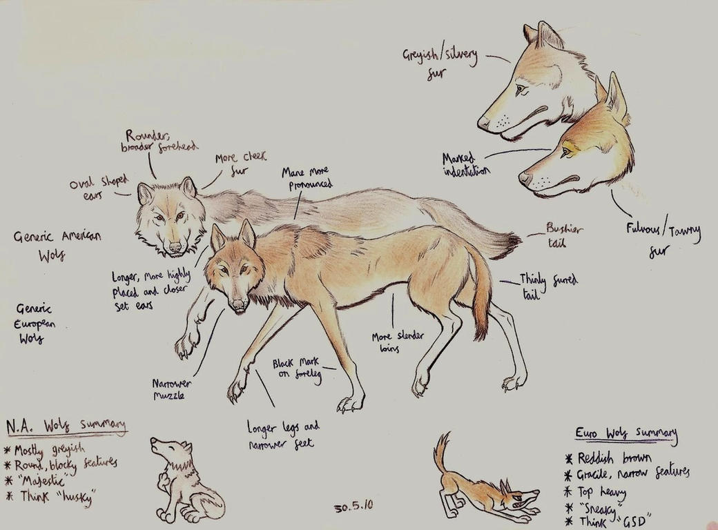 Eurasian wolf tutorial by Dark-Hyena