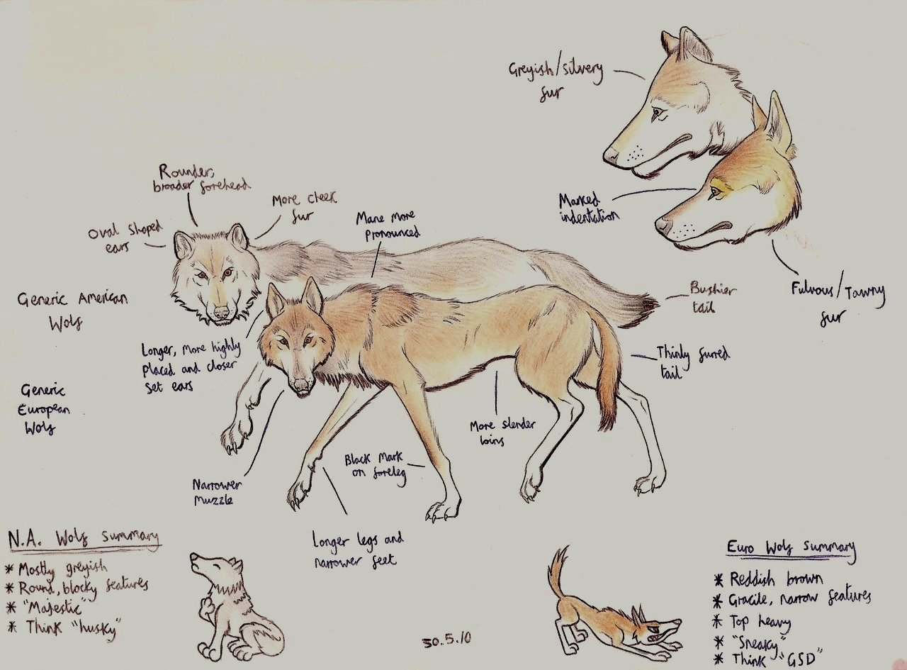 Eurasian wolf tutorial by Dark-Hyena on DeviantArt